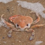 Sand crab at Holloway Bend