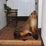 Stray sea lion lobs in Brighton