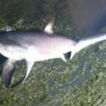 Thresher shark on Hampton beach
