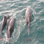 Diesel risk to Port Phillip Dolphins