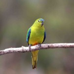 Orange-bellied parrots return to western shore