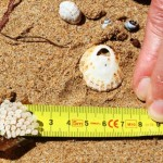 Seashell Safaris –  a fresh look at the beach